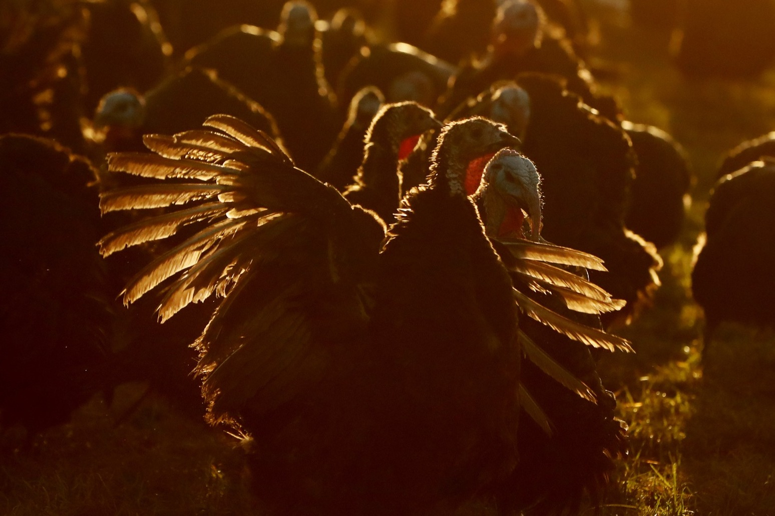Thousands of turkeys culled after bird flu outbreak at Yorkshire farm